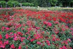 Ogród-Różany